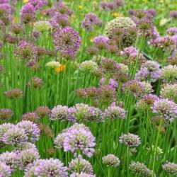 Allium_ameloprasum2.JPG