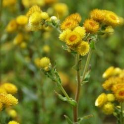 Helichrysum_foetidum.JPG