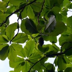 Magnolia_hypoleuca3.JPG