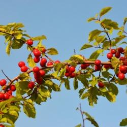 Prunus_cerasifera2.JPG