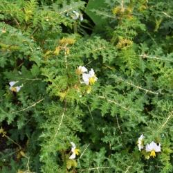 Solanum_sisymbriifolium.JPG