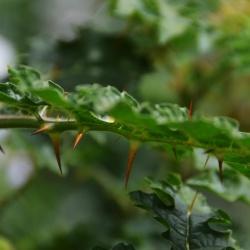 Solanum_sysymbriifoilum3.JPG