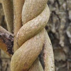 aristolochia_macrophylla.JPG