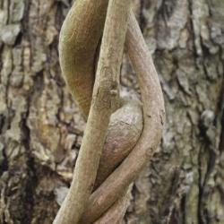 aristolochia_macrophylla2.JPG