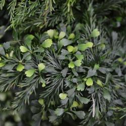 Asplenium_daucifolium.JPG