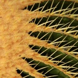 Echinocactus_grusonii2.JPG