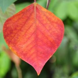 Homalanthus_populifolius2.JPG